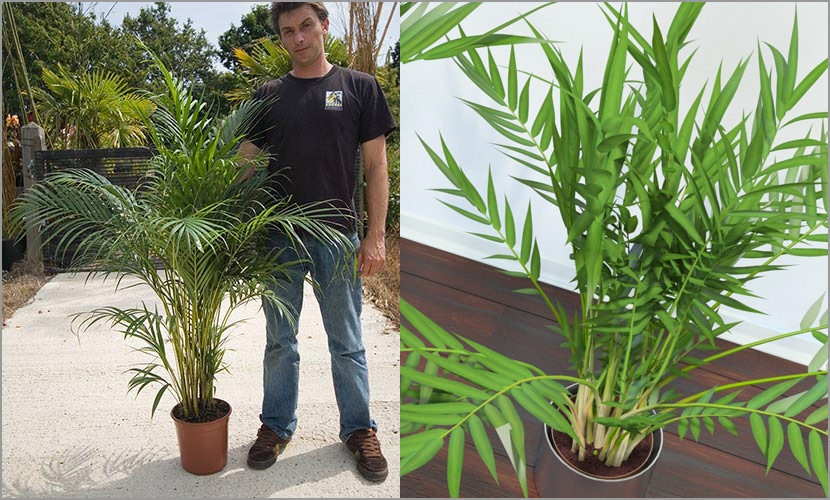 3 best indoor plants that purifies house air quality for for Areca palm safe for cats
